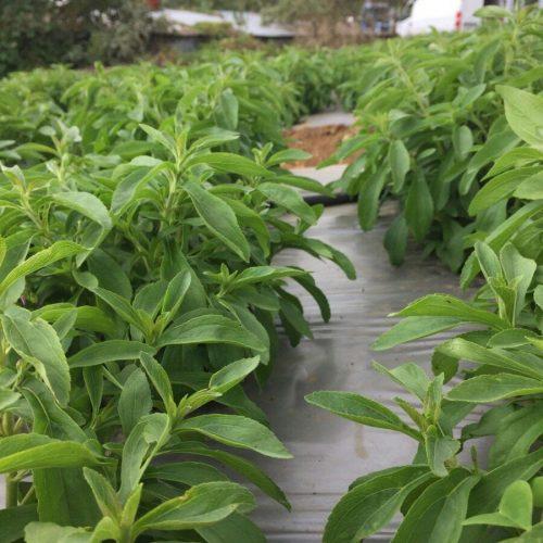 producteur-et-fabricant-de-stevia-003