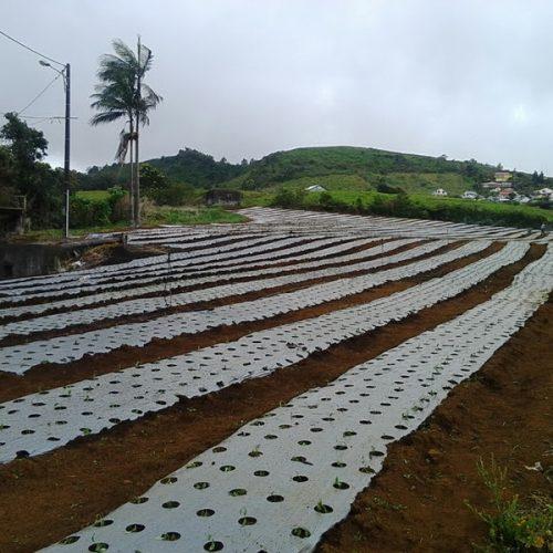 producteur-et-fabricant-de-stevia-005