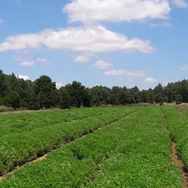 producteur-et-fabricant-de-stevia-013