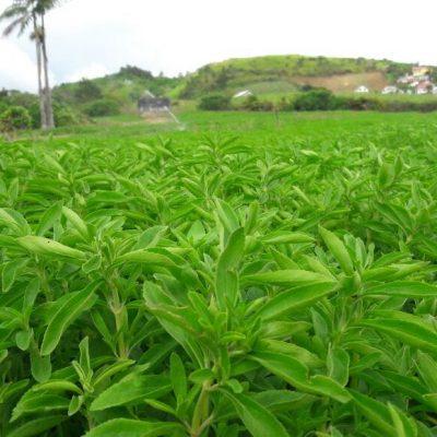 producteur-et-fabricant-de-stevia-015