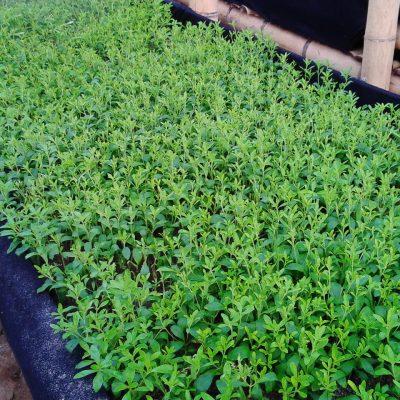 producteur-et-fabricant-de-stevia-024