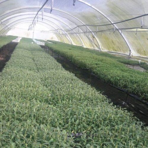 producteur-et-fabricant-de-stevia-028