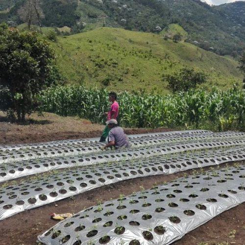 producteur-et-fabricant-de-stevia-031