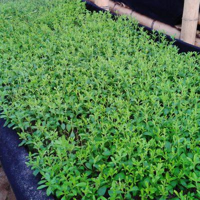 producteur-et-fabricant-de-stevia-069